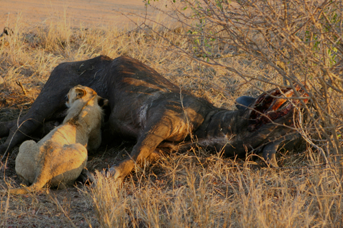 kruger lions eating buffalo